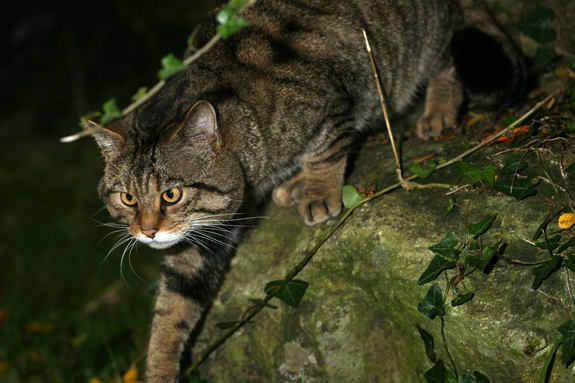 A Scottish wildcat - but is it a hybrid or a purebred? Picture supplied by Neville Buck, of The Aspinall Foundation.