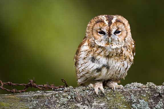 Tawny owl by Dr Adam Keen.